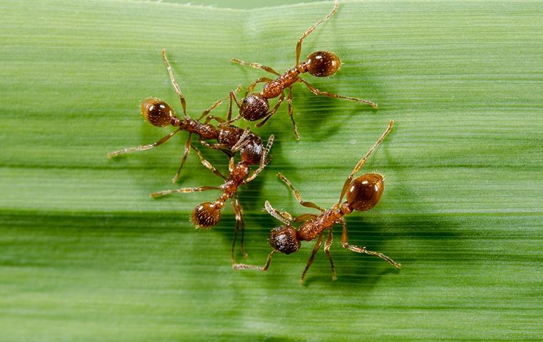 four fire ants on a leaf