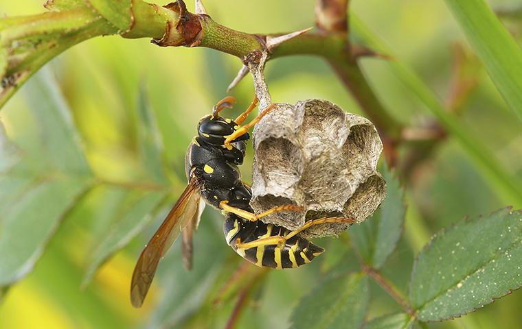 paper wasp on little nest hanging from tree