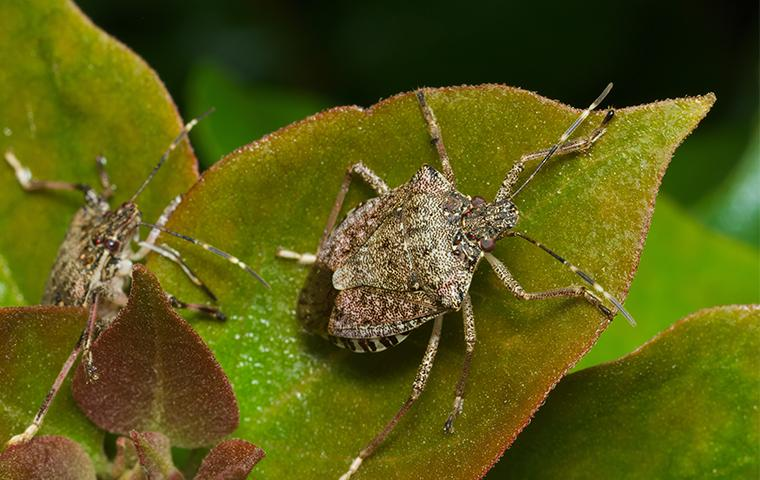 brown marmorated stink bugs walking across leaves