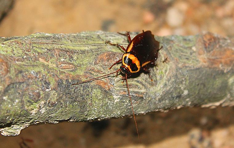 american cockroach on a tree