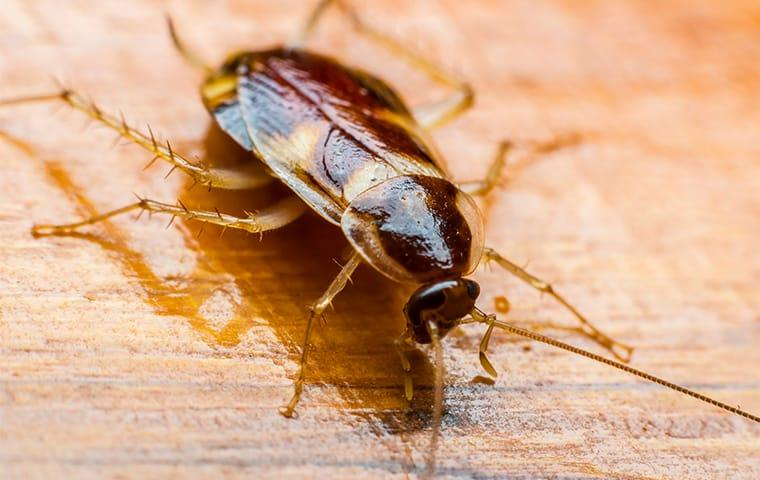 a brown banded cockroach on wooden floor