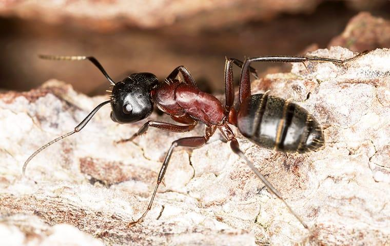 a carpenter ant crawling on wood in lakewood new jersey