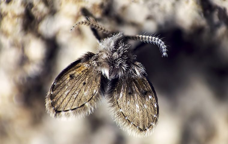 a drain fly on a damp wall in lakewood new jersey