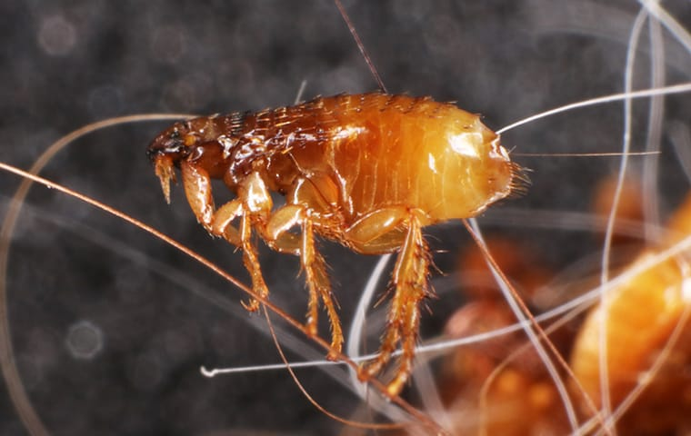 a flea crawling on pet hair in lakewood new jersey