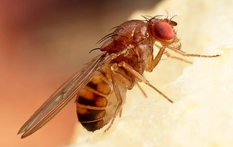 a fruit fly eating an apple in a kitchen in lakewood new jersey