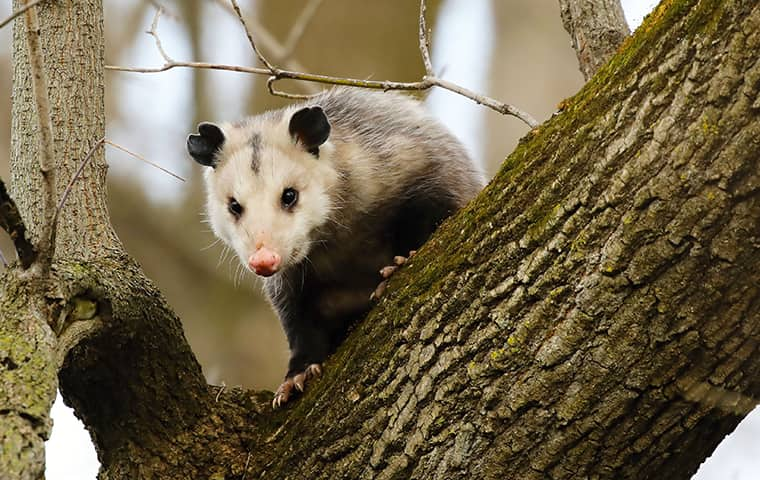 an opossum in a tree outside of a home serviced by bugaboo pest control in new jersey