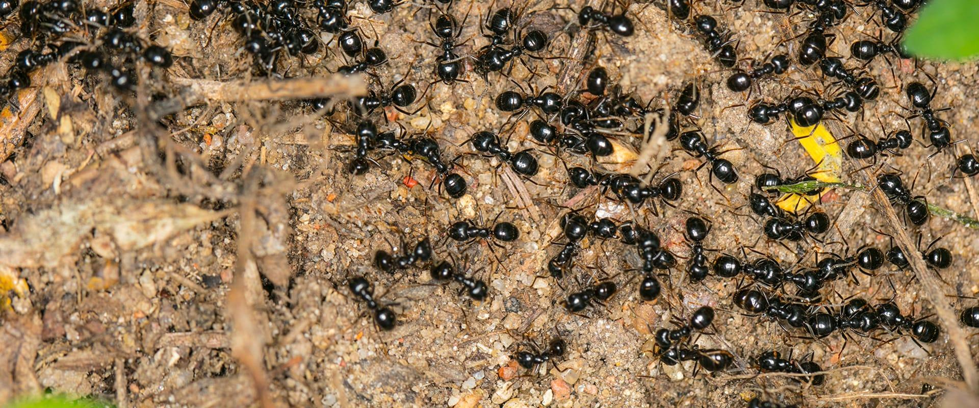 a swarm of black ants crawling around in the dirt outside of a home in lakewood new jersey