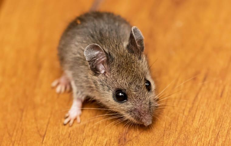 a brown mouse sniffing for food in a lakewood new jersey home