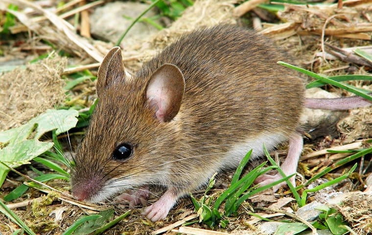 a mouse searches for food in a lakewood new jersey yard