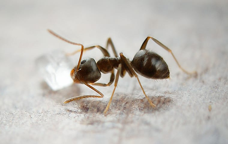 an oderous house ant scavenges for food in a new jersey home