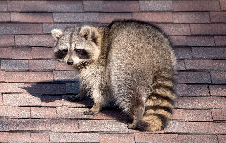 a raccoon crawling on a shingled roof in lakewood new jersey