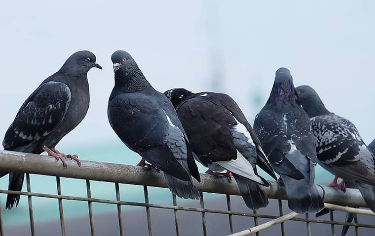 a flock of pigeons perched on a gate outside of a home serviced by bugaboo pest control in new jersey