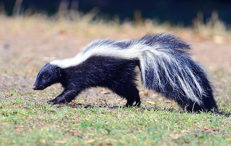 a skunk walking across a lawn in lakewood new jersey