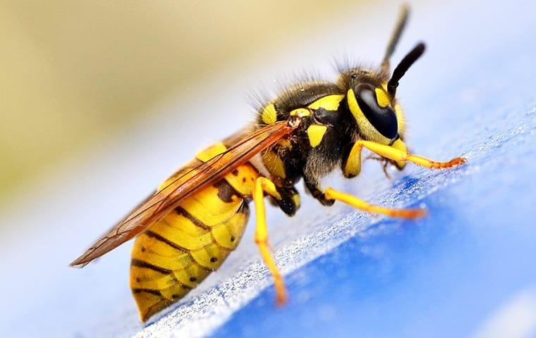 a yellow jacket wasp crawling in a home in lakewood new jersey