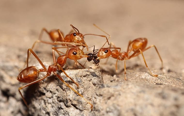 three red ants fighting over food outside a home