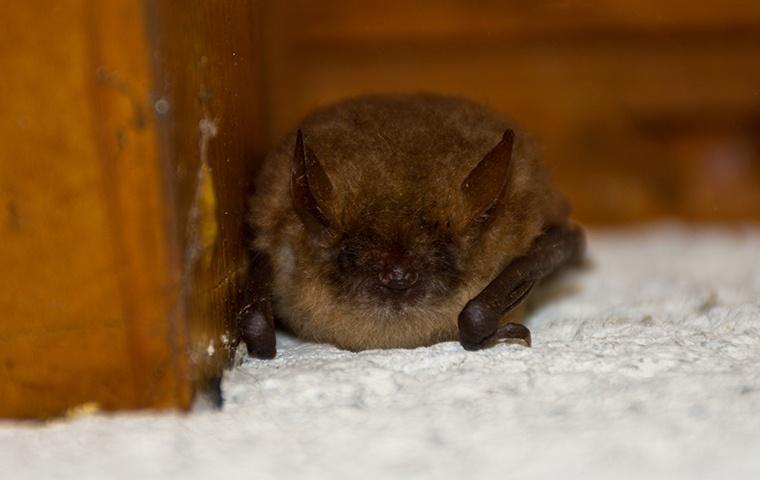 a little brown bat inside a home