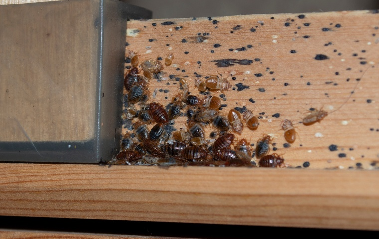 a group of bed bugs on a bedframe