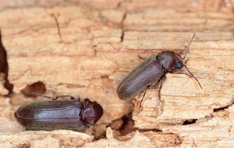 beetles on wood