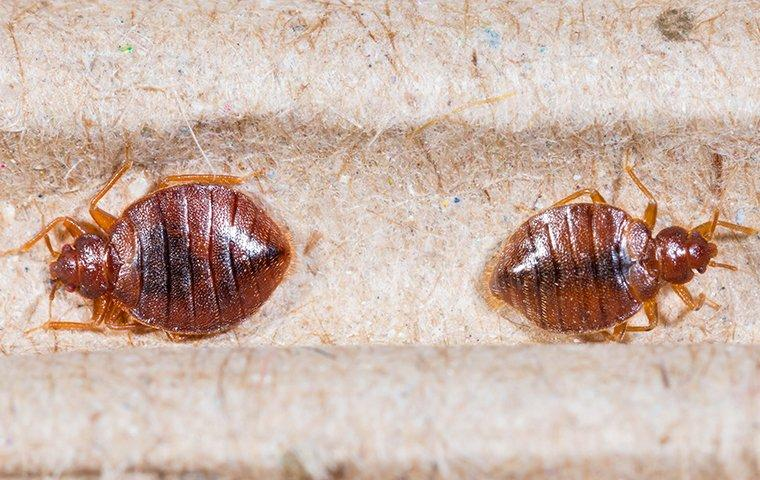 two bed bugs on headboard