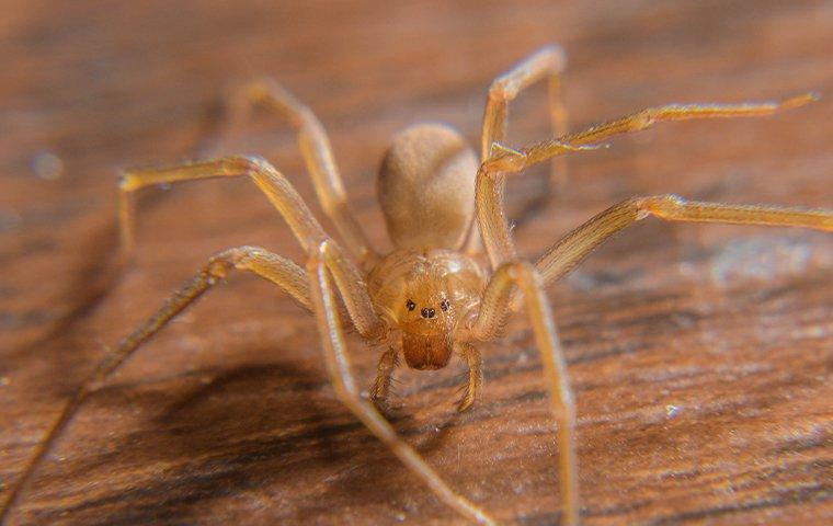 a brown recluse spider crawling on a desk