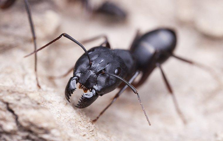 a carpenter ant crawling on wood shavings