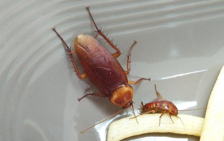 cockroaches eating food in a kitchen dish