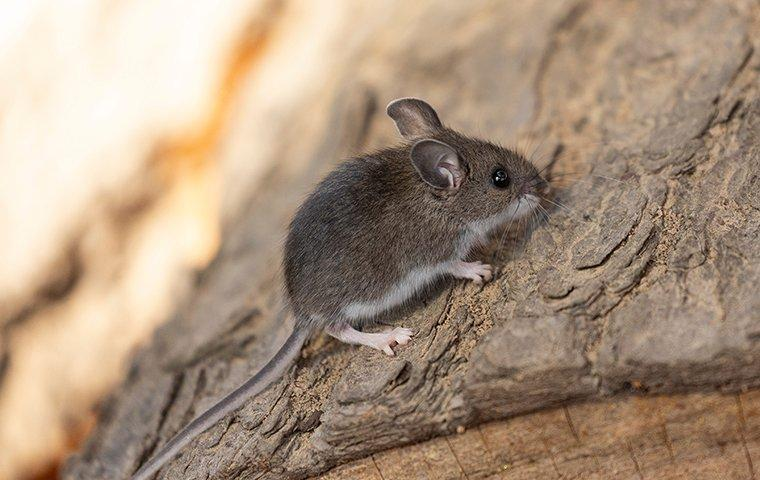a deer mouse on a log outdoors