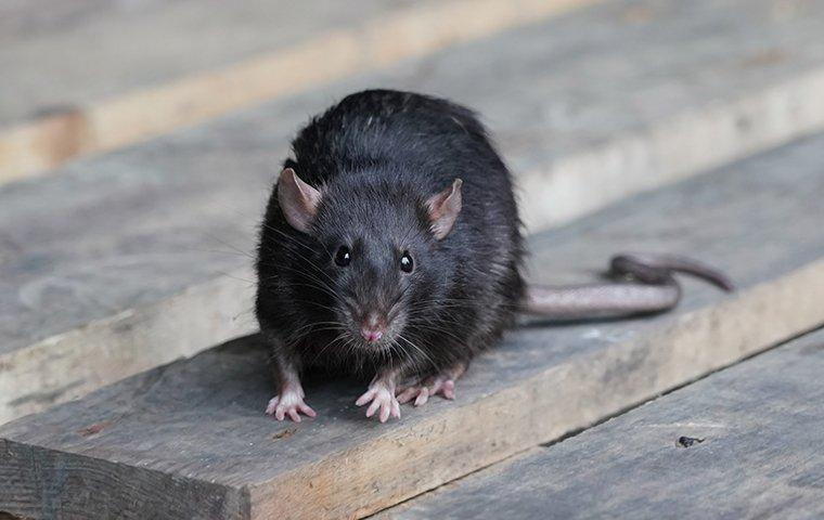 a black rodent on a wooden plank
