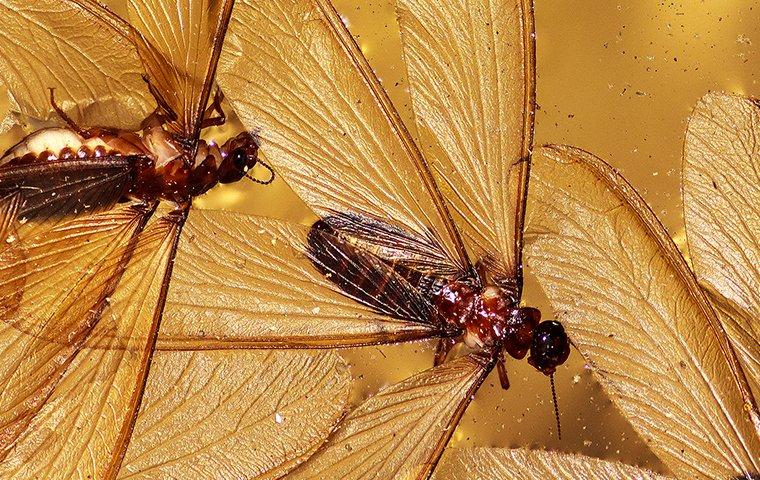 a colony of termite swarmers