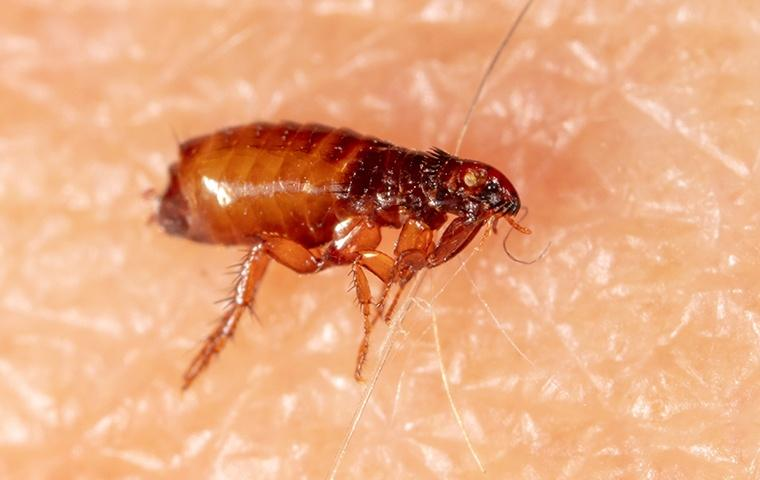 a flea crawling on human skin