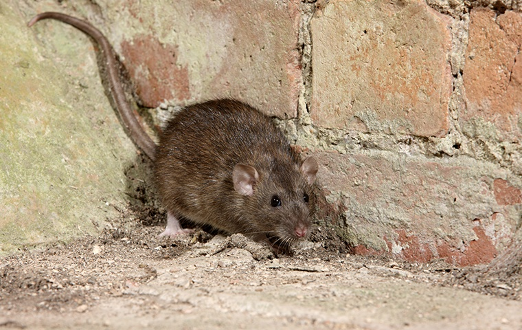 a rat crawling on the ground outside a home