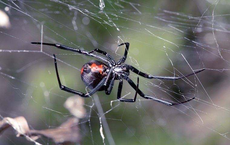 a black widow spider on a web outside a human