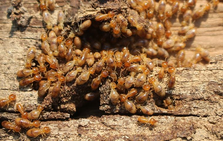 a termite colony eating a piece of structural wood