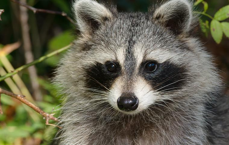 close up of raccoon