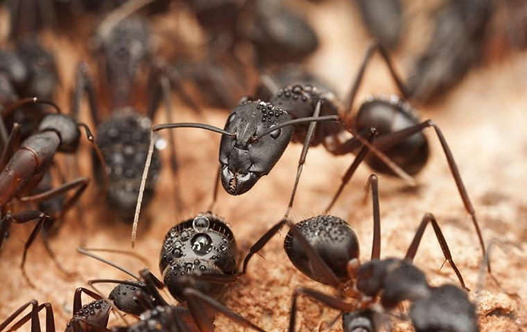 group of carpenter ants on wood around home