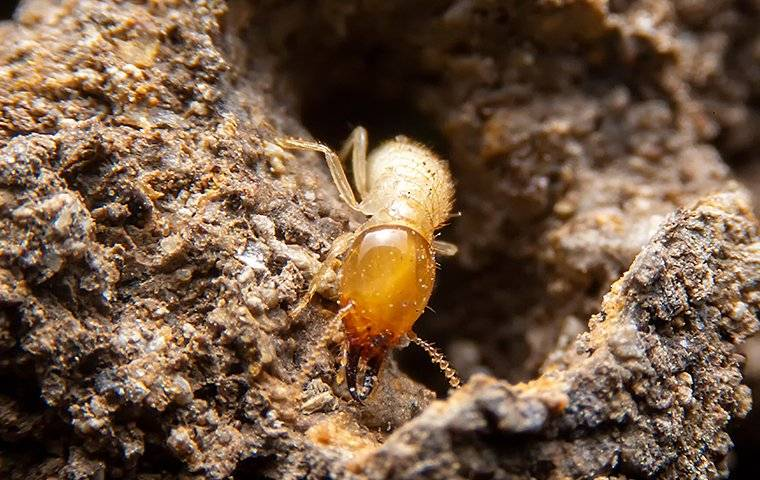 termite crawling in wood tunnel