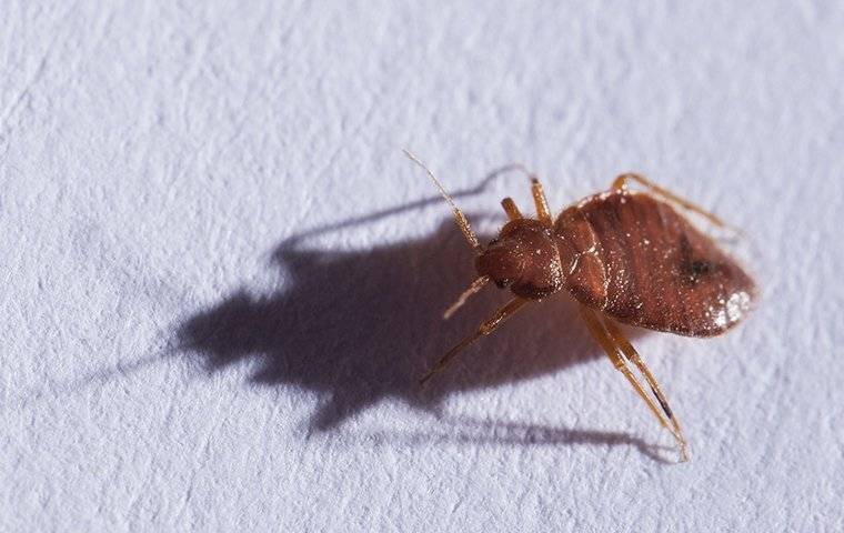 bed bug crawling on bedding