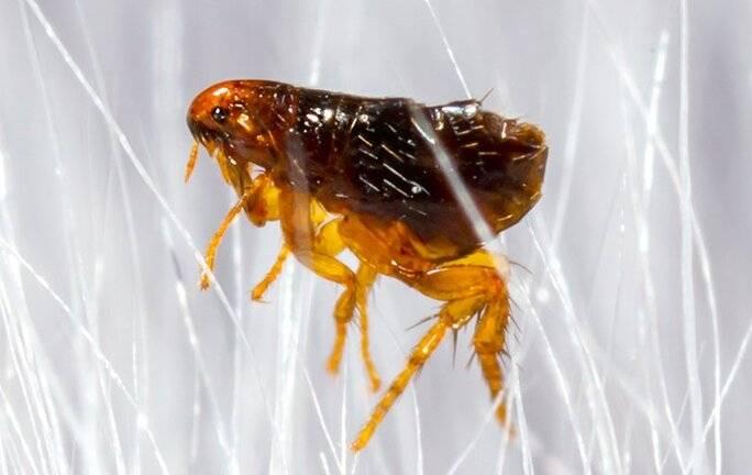 flea in winter