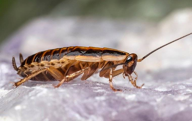 a german cockroach crawling on a white rock