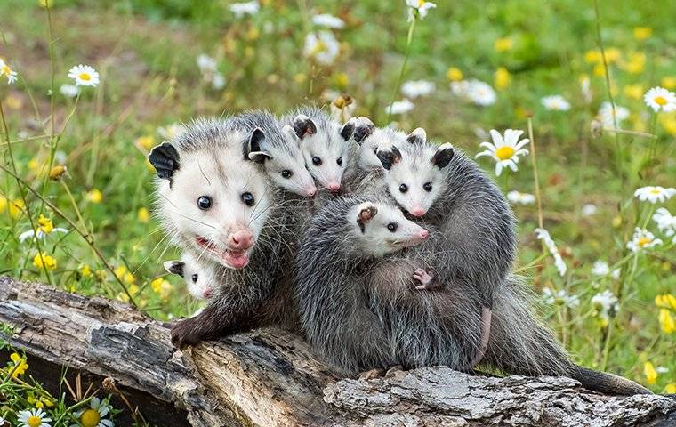 an opossum family sitting on a log