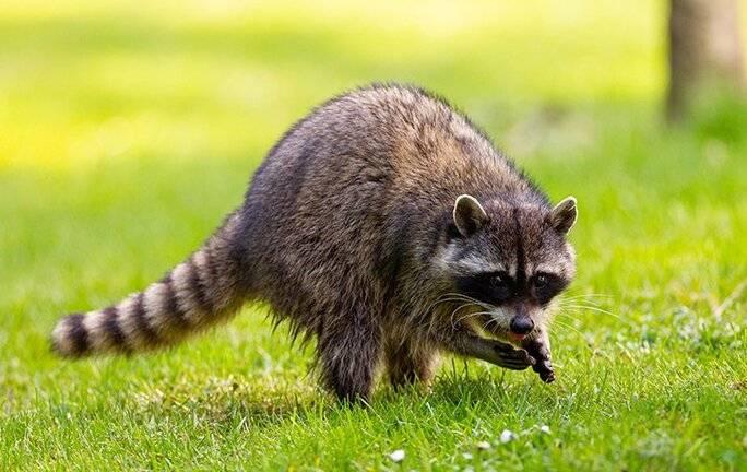 raccoon looking for food in a yard