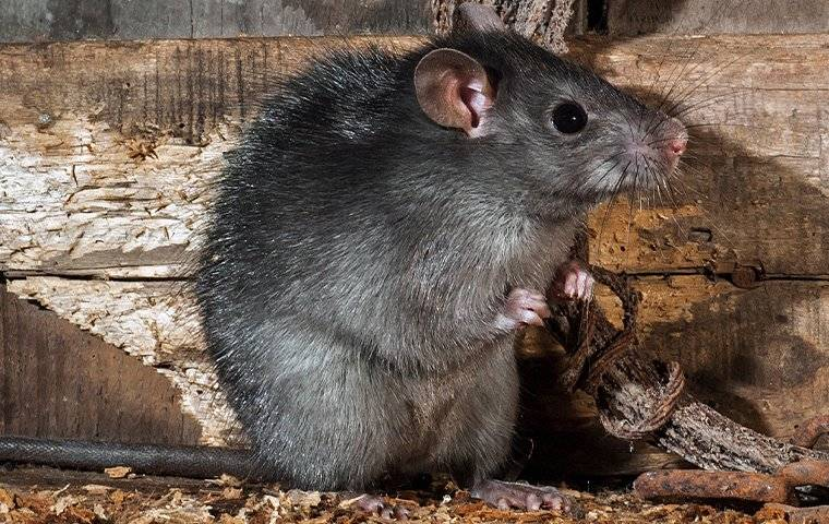up close image of a roof rat sitting in an attic
