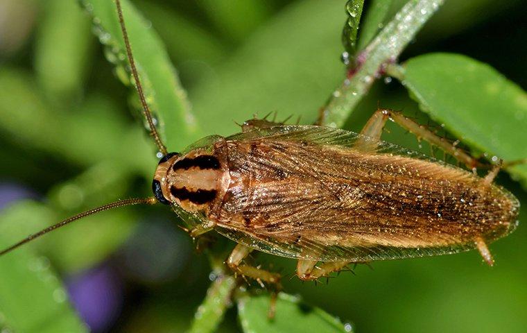 a german cockroach on leaf