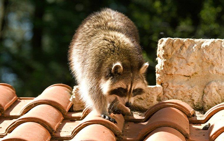a raccoon on a roof