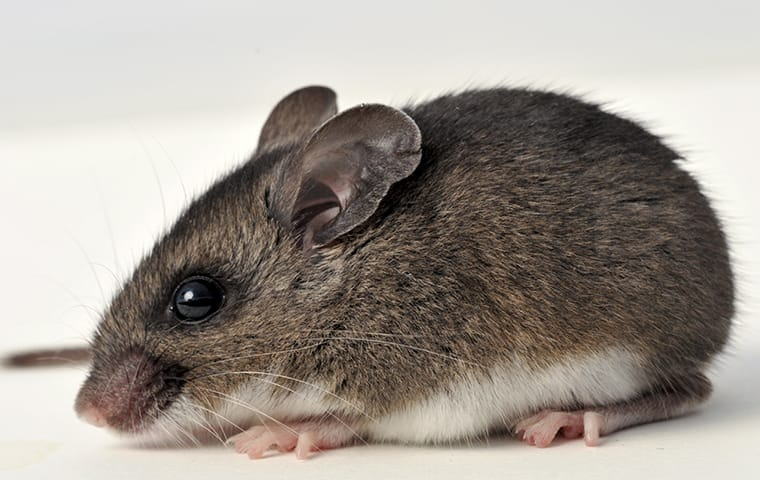 a deer mouse on the ground