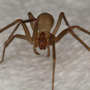 brown recluse in boerne texas