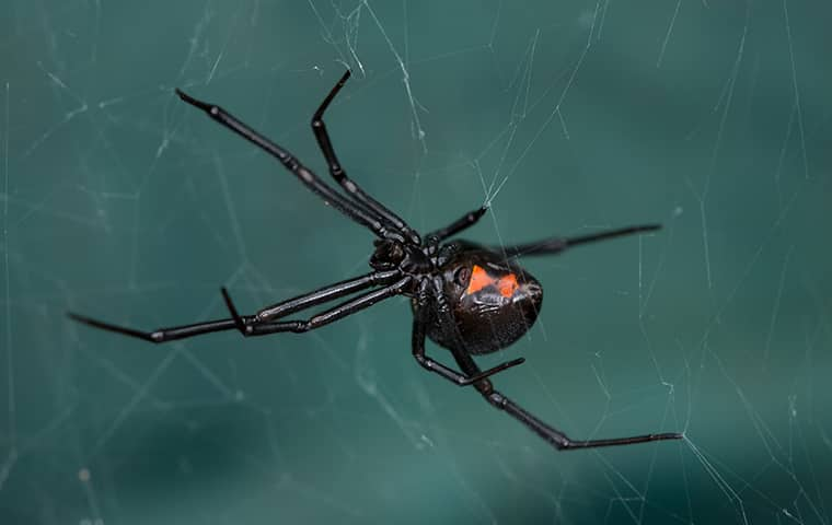 black widow spider in boerne texas