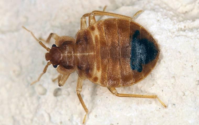 a bed bug on a mattress in kansas city missouri