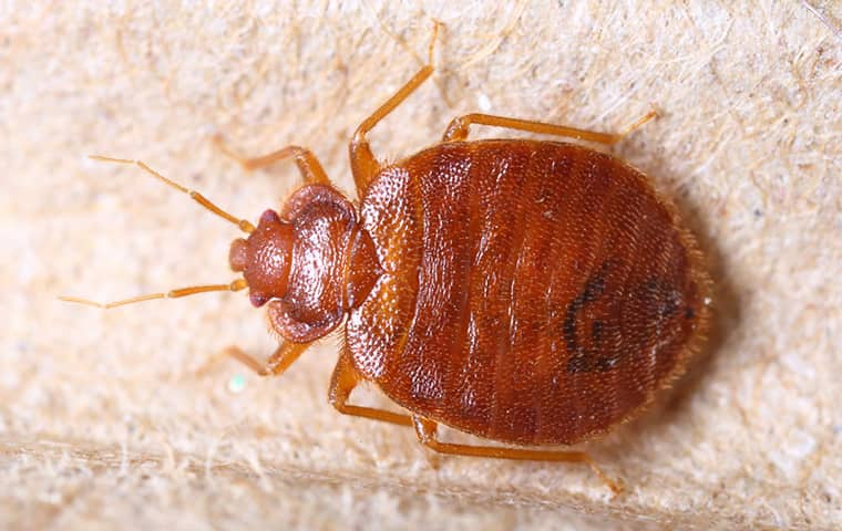 a bed bug on a pillow in augusta kansas