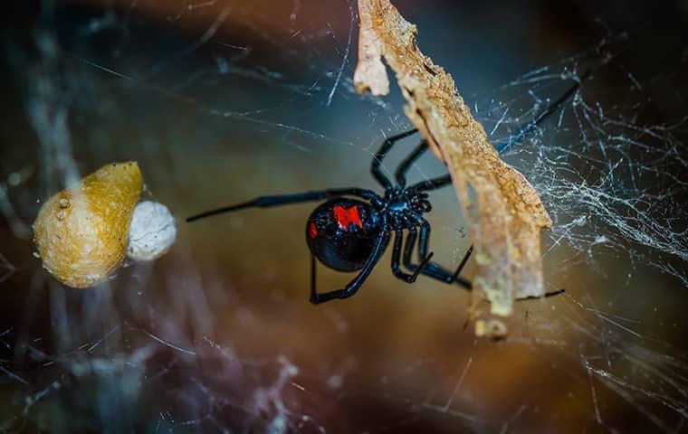 black widow on mushrooms